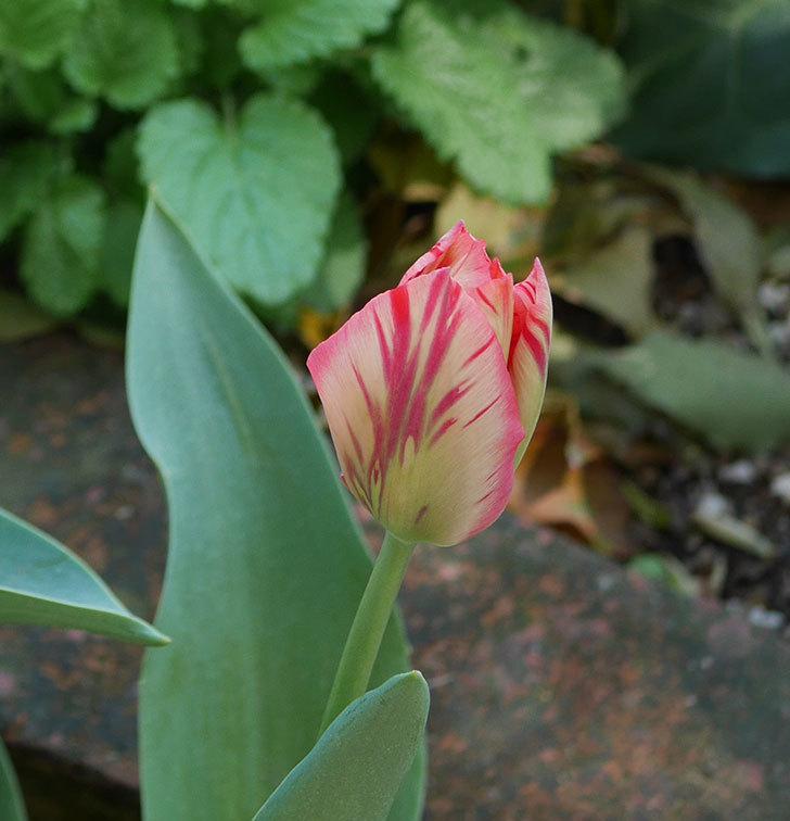 チューリップの花が増えて来た。2020年-8.jpg