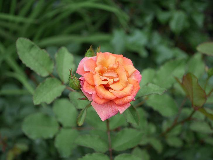 チョコフィオーレ(Cioccofiore)の2番花が咲いた。ミニバラ。2020年-009.jpg