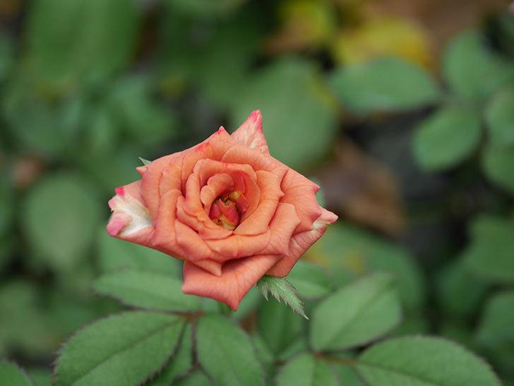 チョコフィオーレ(Cioccofiore)の夏花が咲いた。ミニバラ。2020年-001.jpg