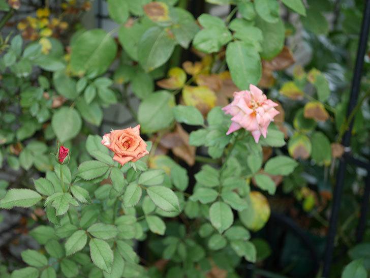 チョコフィオーレ(Cioccofiore)の夏花が咲いた。ミニバラ。2020年-004.jpg