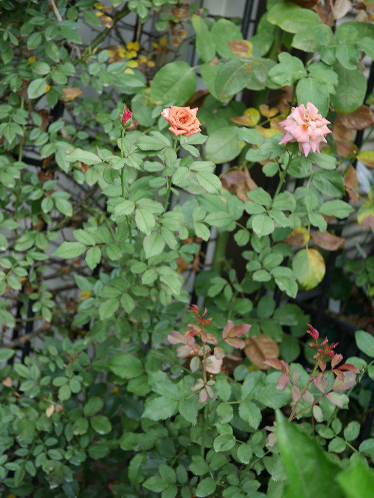 チョコフィオーレ(Cioccofiore)の夏花が咲いた。ミニバラ。2020年-005.jpg
