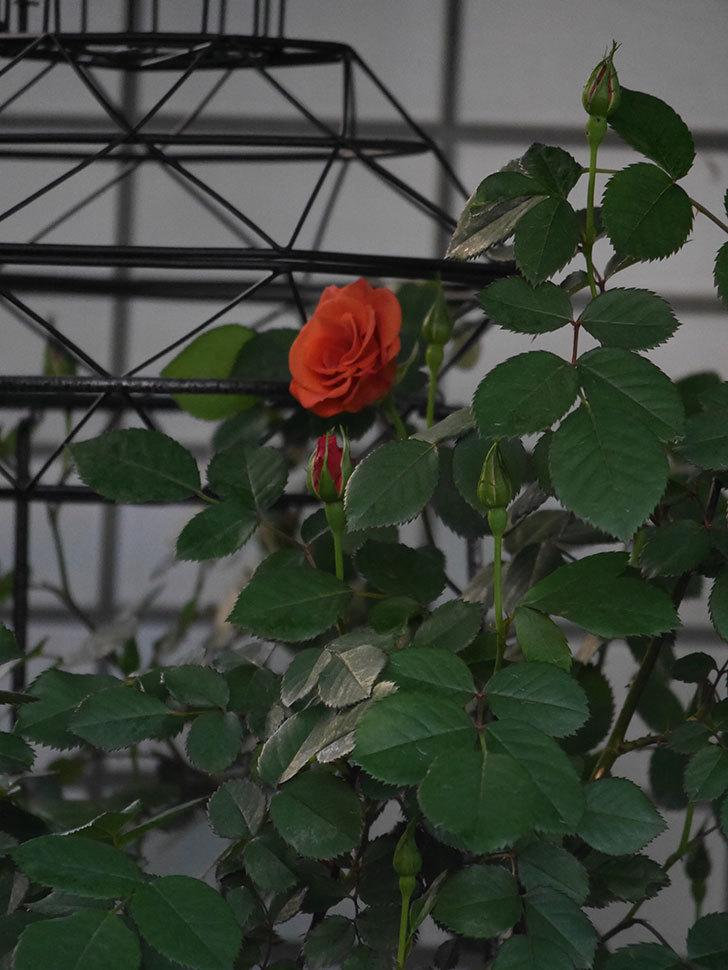 チョコフィオーレ(Cioccofiore)の花が咲いた。ミニバラ。2021年-001.jpg