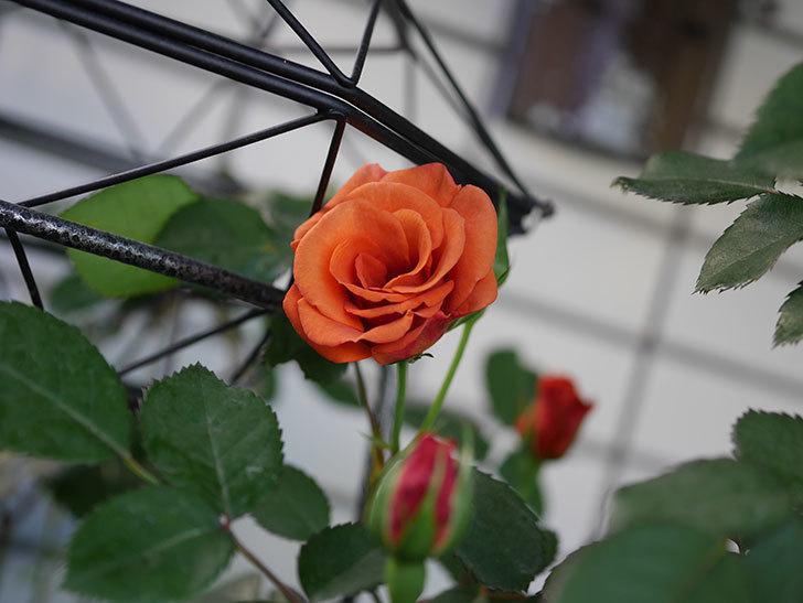 チョコフィオーレ(Cioccofiore)の花が咲いた。ミニバラ。2021年-004.jpg