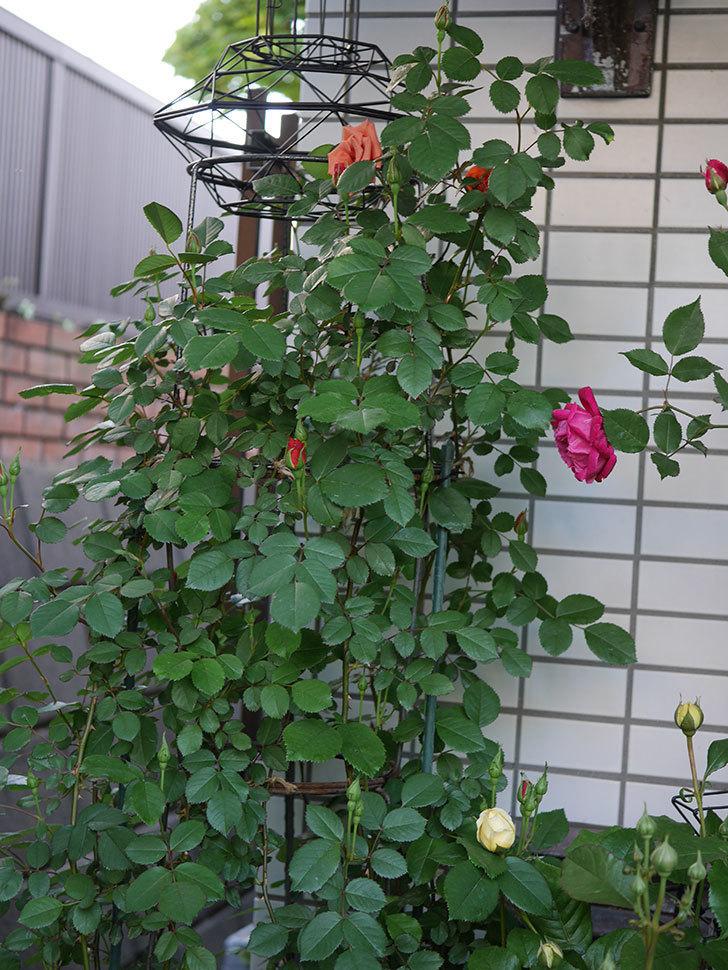 チョコフィオーレ(Cioccofiore)の花が咲いた。ミニバラ。2021年-007.jpg
