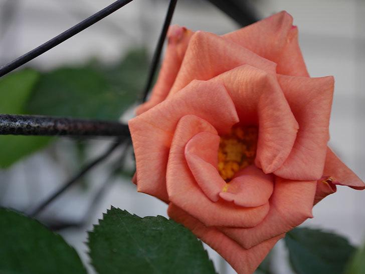 チョコフィオーレ(Cioccofiore)の花が咲いた。ミニバラ。2021年-008.jpg