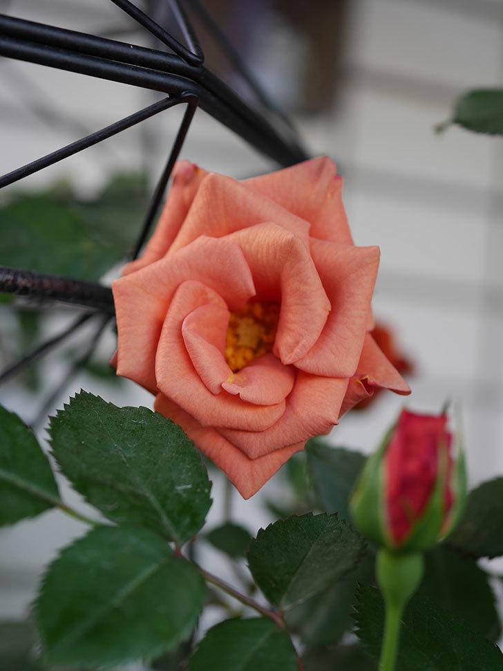 チョコフィオーレ(Cioccofiore)の花が咲いた。ミニバラ。2021年-009.jpg