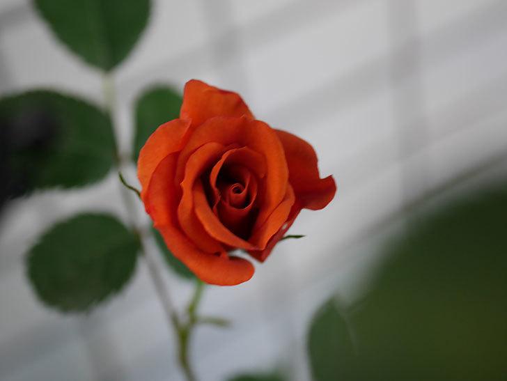 チョコフィオーレ(Cioccofiore)の花が咲いた。ミニバラ。2021年-010.jpg