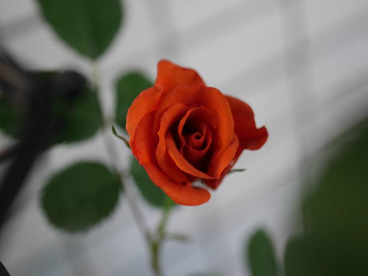 チョコフィオーレ(Cioccofiore)の花が咲いた。ミニバラ。2021年-012.jpg