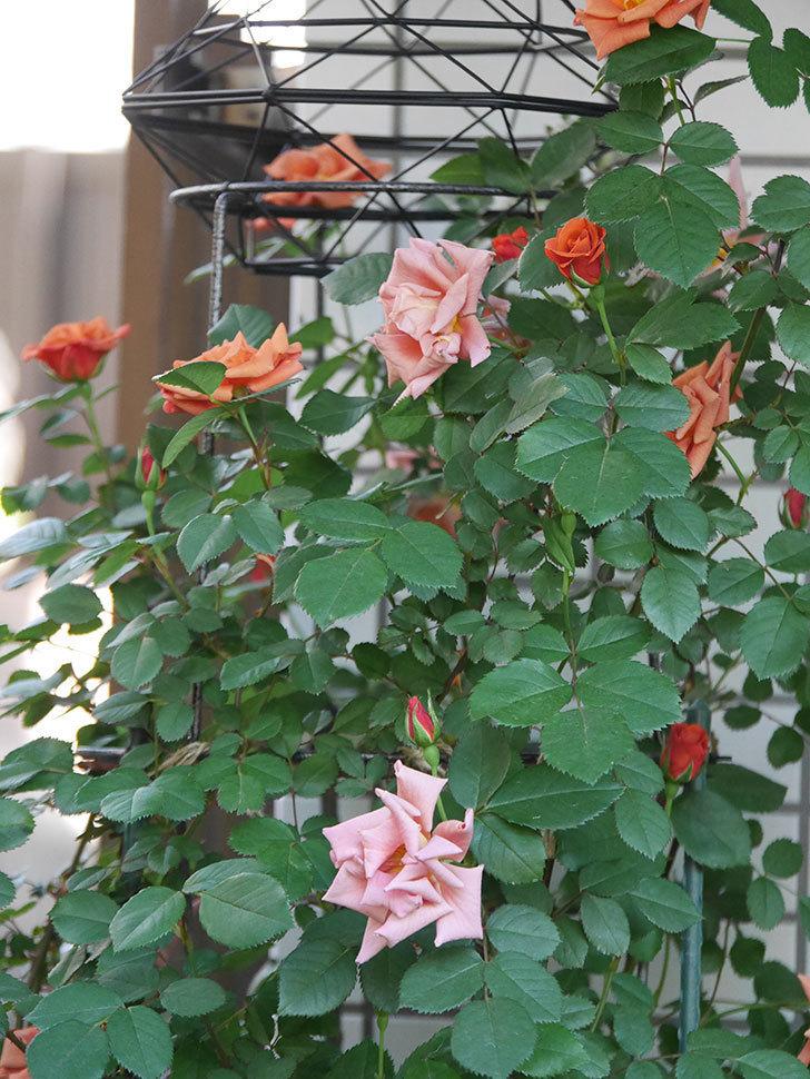 チョコフィオーレ(Cioccofiore)の花が増えてきた。ミニバラ。2021年-015.jpg