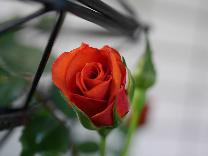 チョコフィオーレ(Cioccofiore)の花が少し咲いた。ミニバラ。2021年-001.jpg