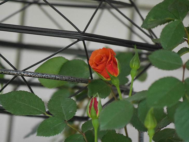 チョコフィオーレ(Cioccofiore)の花が少し咲いた。ミニバラ。2021年-004.jpg