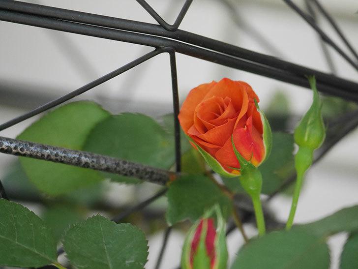 チョコフィオーレ(Cioccofiore)の花が少し咲いた。ミニバラ。2021年-007.jpg