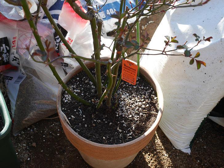 チョコフィオーレ(Cioccofiore)を植え替えてからオベリスクに誘引をした。ミニバラ。2021年-001.jpg