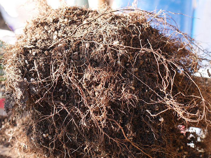 チョコフィオーレ(Cioccofiore)を植え替えてからオベリスクに誘引をした。ミニバラ。2021年-009.jpg
