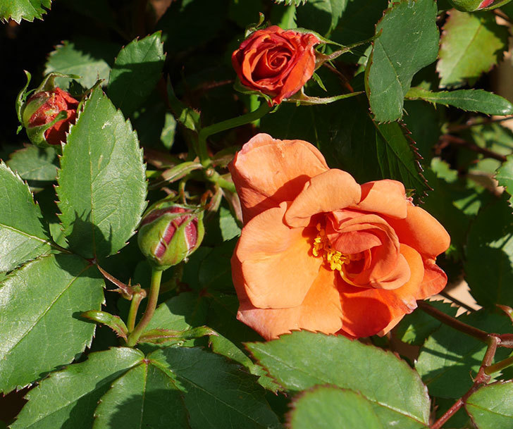 チョコフィオーレ(ミニバラ)の2個目の花が咲いた。2018年-1.jpg