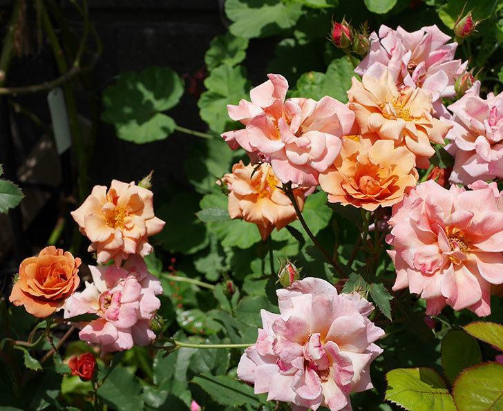 チョコフィオーレ(ミニバラ)の2番花がたくさん咲いた。2018年-1.jpg