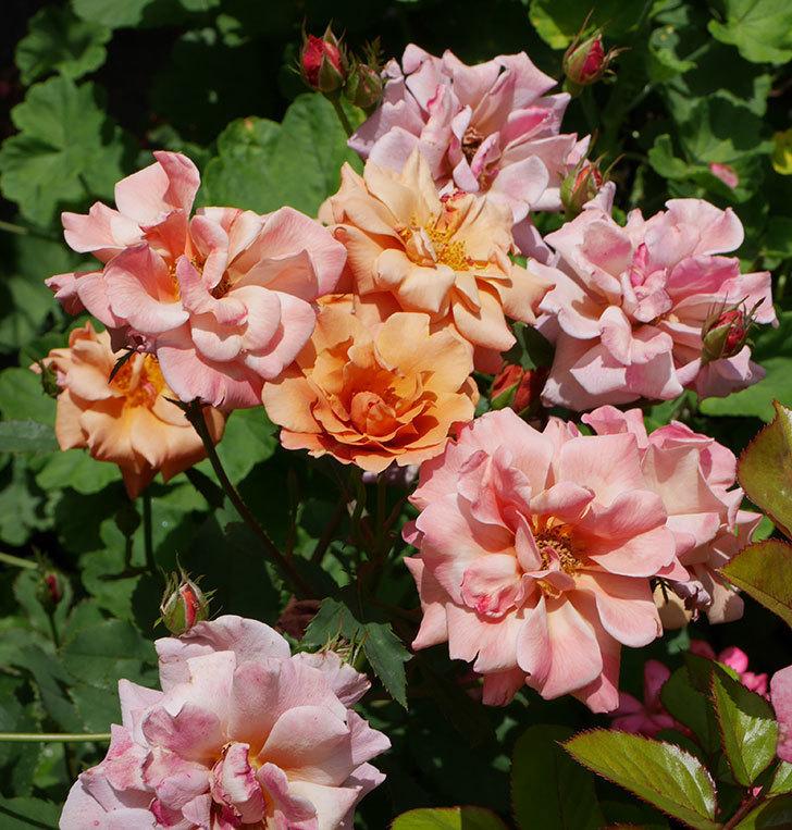 チョコフィオーレ(ミニバラ)の2番花がたくさん咲いた。2018年-3.jpg