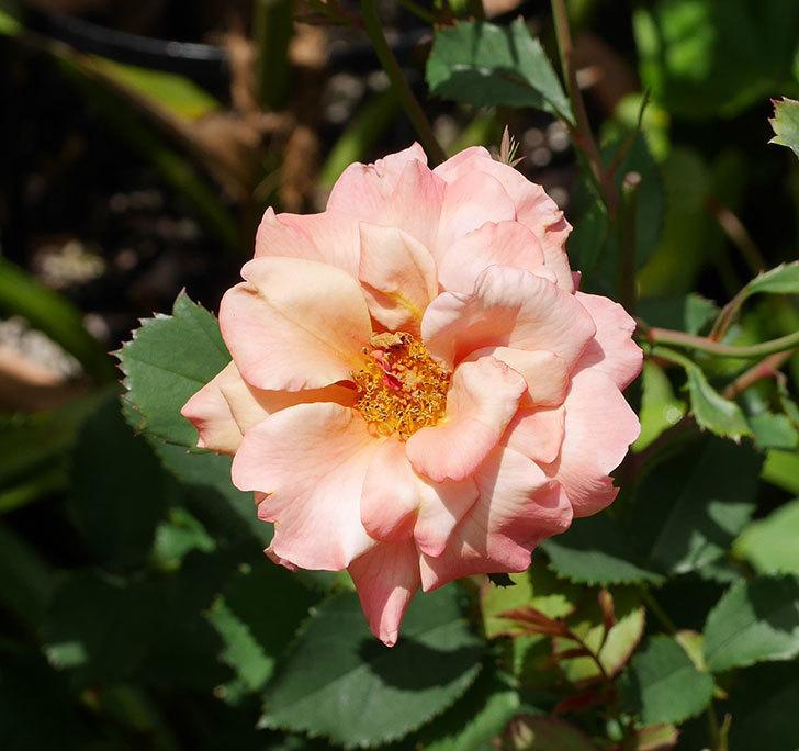 チョコフィオーレ(ミニバラ)の2番花がたくさん咲いた。2018年-4.jpg