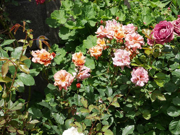 チョコフィオーレ(ミニバラ)の2番花がたくさん咲いた。2018年-9.jpg