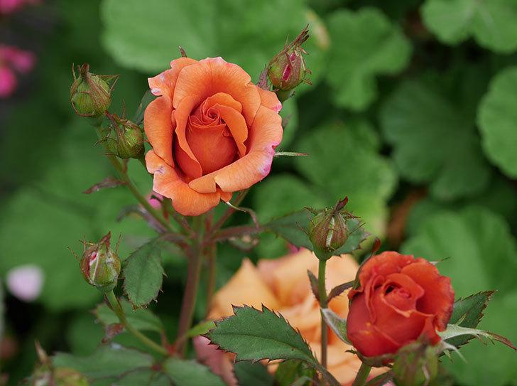 チョコフィオーレ(ミニバラ)の2番花が咲いた。2018年-1.jpg