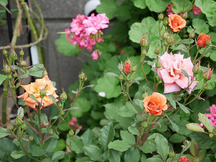 チョコフィオーレ(ミニバラ)の2番花が咲いた。2018年-2.jpg