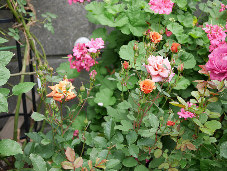 チョコフィオーレ(ミニバラ)の2番花が咲いた。2018年-7.jpg