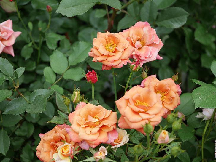 チョコフィオーレ(ミニバラ)の2番花が咲いた。2019年-1.jpg