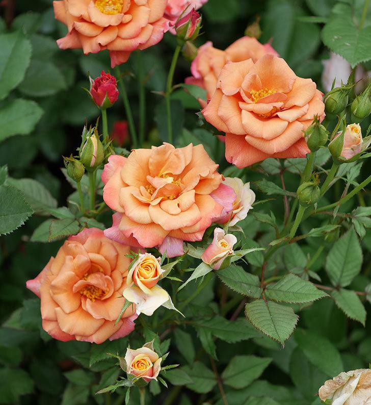 チョコフィオーレ(ミニバラ)の2番花が咲いた。2019年-2.jpg