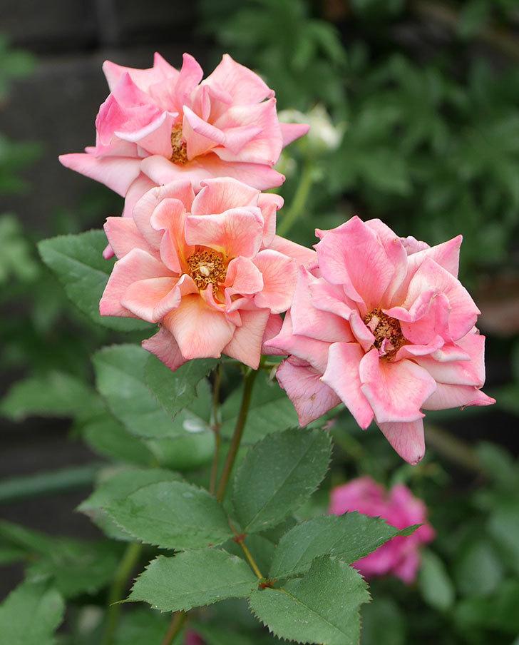 チョコフィオーレ(ミニバラ)の2番花が咲いた。2019年-4.jpg