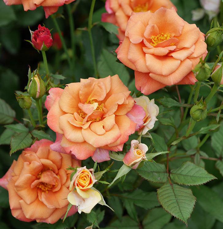 チョコフィオーレ(ミニバラ)の2番花が咲いた。2019年-5.jpg