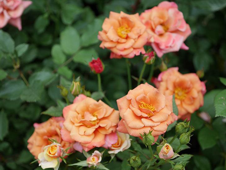 チョコフィオーレ(ミニバラ)の2番花が咲いた。2019年-6.jpg