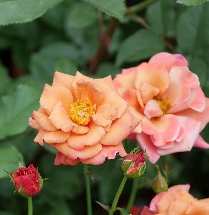 チョコフィオーレ(ミニバラ)の2番花が咲いた。2019年-7.jpg