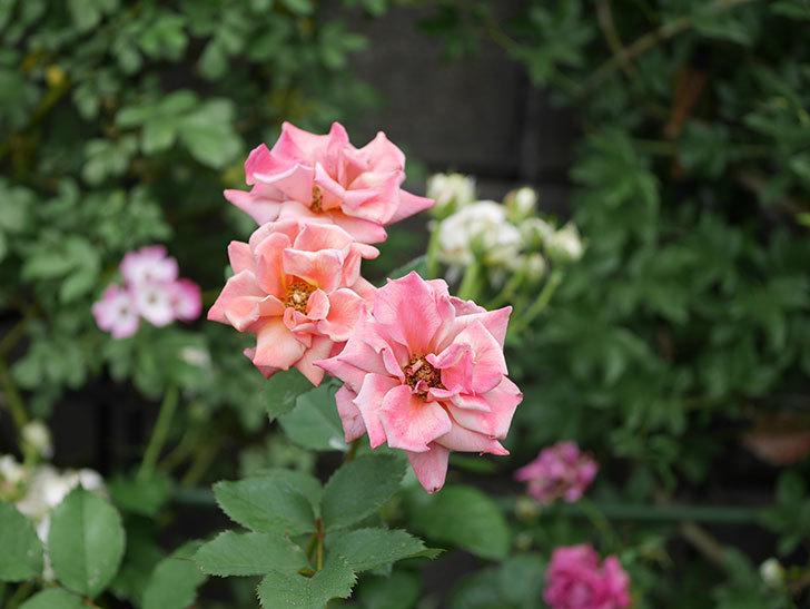 チョコフィオーレ(ミニバラ)の2番花が咲いた。2019年-9.jpg