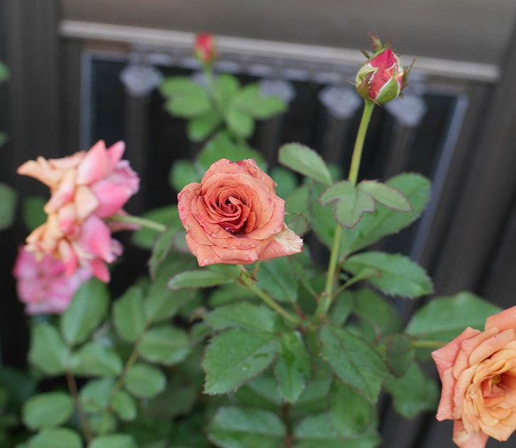 チョコフィオーレ(ミニバラ)の3番花が咲いた。2018年-1.jpg