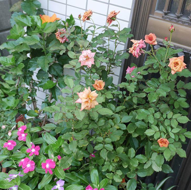 チョコフィオーレ(ミニバラ)の3番花が咲いた。2018年-2.jpg