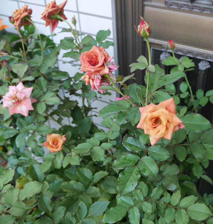 チョコフィオーレ(ミニバラ)の3番花が咲いた。2018年-3.jpg