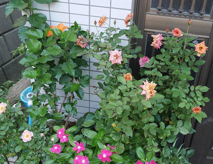チョコフィオーレ(ミニバラ)の3番花が咲いた。2018年-4.jpg