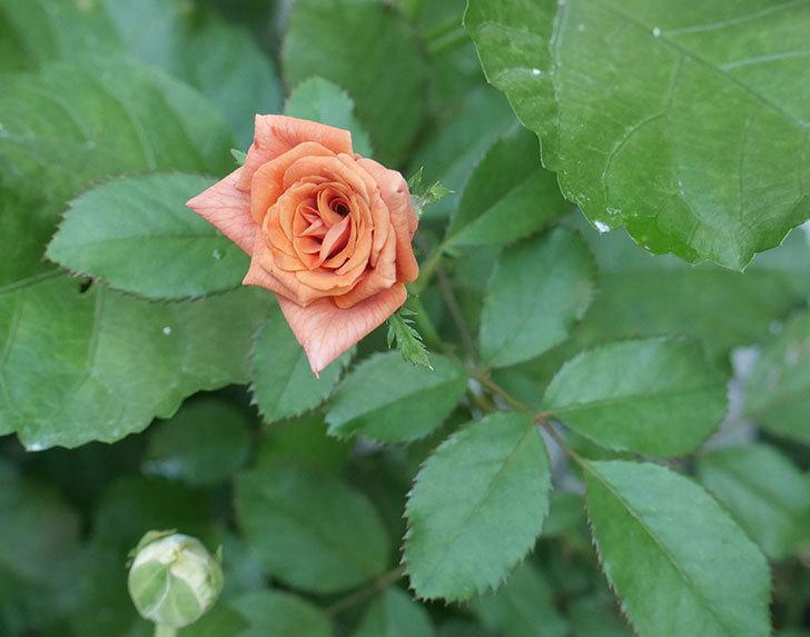 チョコフィオーレ(ミニバラ)の夏花が咲いた。2018年-1.jpg