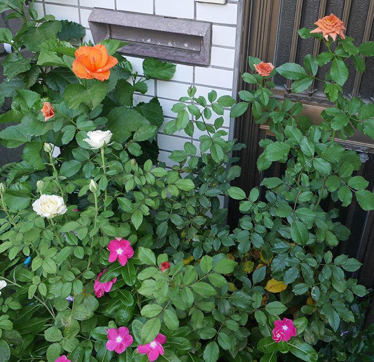 チョコフィオーレ(ミニバラ)の夏花が咲いた。2018年-5.jpg