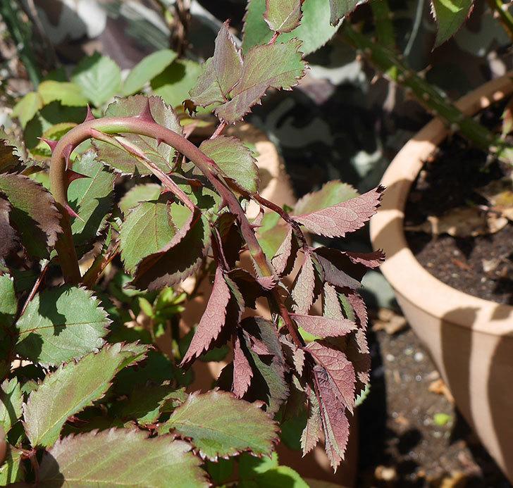 チョコフィオーレ(ミニバラ)の新芽がしおれてしまった。2018年-2.jpg