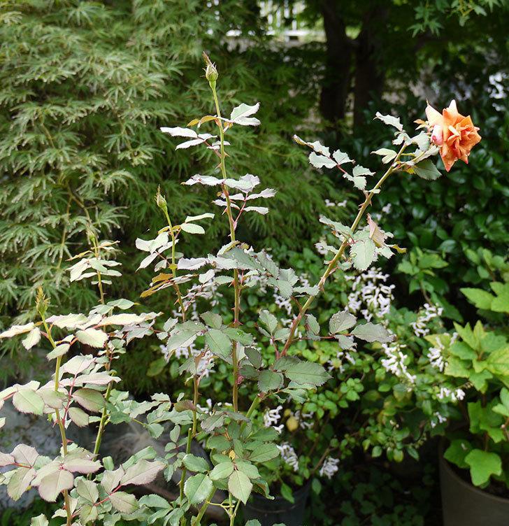 チョコフィオーレ(ミニバラ)の秋花がオレンジになった。2016年-3.jpg