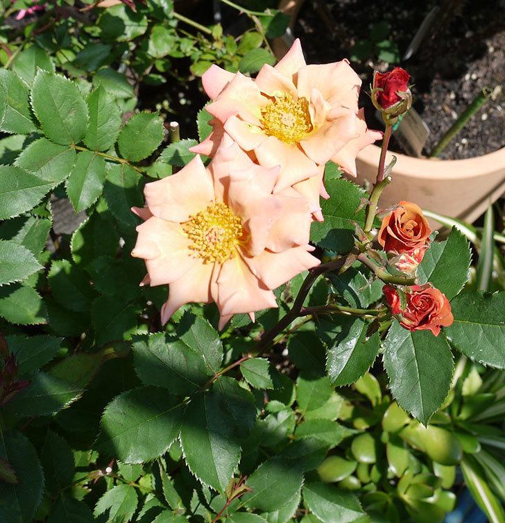 チョコフィオーレ(ミニバラ)の花がまた咲いた。2017年-1.jpg