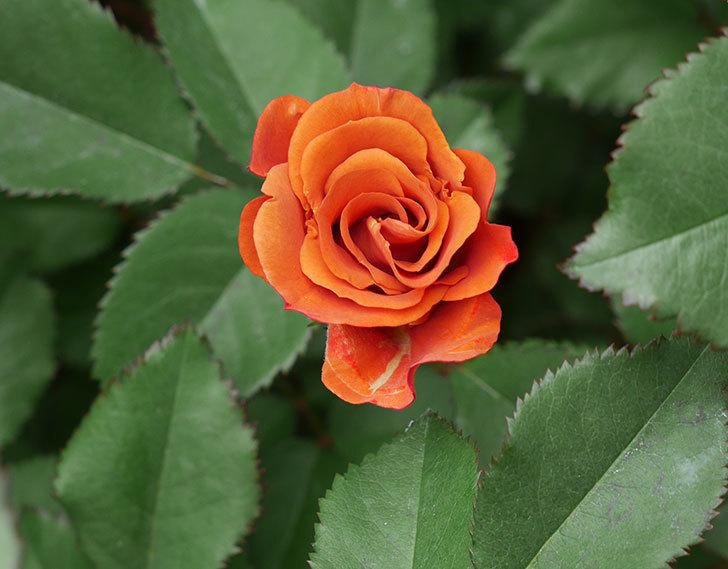 チョコフィオーレ(ミニバラ)の花がまた咲きだした。2019年-1.jpg