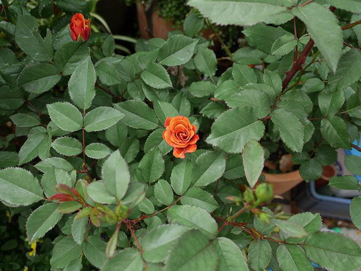 チョコフィオーレ(ミニバラ)の花がまた咲きだした。2019年-2.jpg