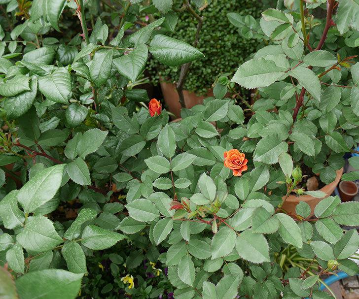 チョコフィオーレ(ミニバラ)の花がまた咲きだした。2019年-4.jpg