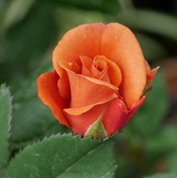 チョコフィオーレ(ミニバラ)の花がまた咲きだした。2019年-8.jpg