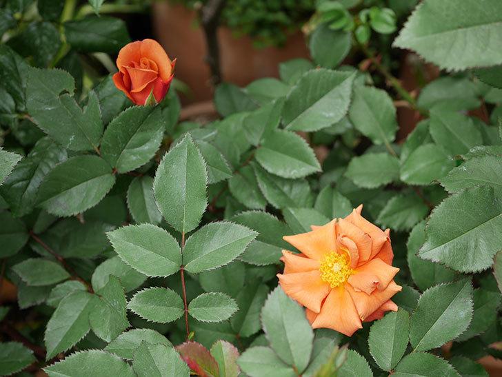 チョコフィオーレ(ミニバラ)の花がまた咲きだした。2019年-9.jpg
