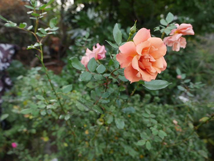 チョコフィオーレ(ミニバラ)の花がまだ咲いている。2019年-4.jpg