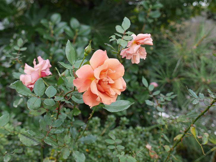チョコフィオーレ(ミニバラ)の花がまだ咲いている。2019年-5.jpg