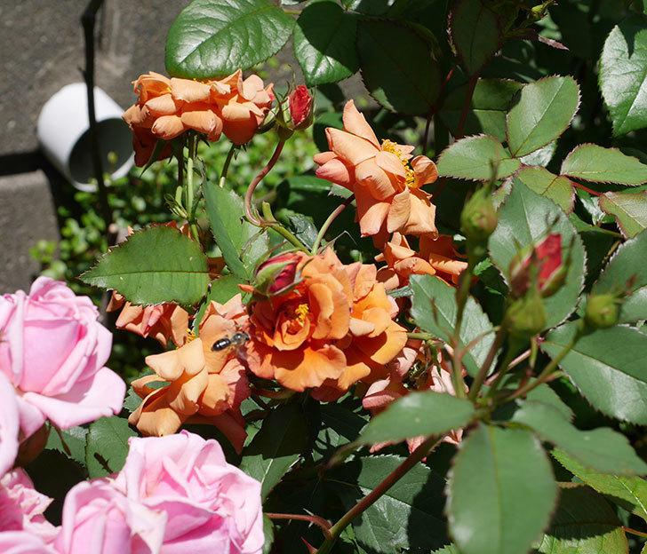 チョコフィオーレ(ミニバラ)の花がまとまって咲いた。2019年-1.jpg